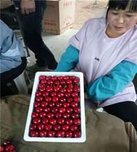 黑珍珠櫻桃苗、4年生黑珍珠櫻桃苗圖片
