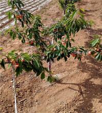 車厘子櫻桃樹苗、三公分車厘子櫻桃樹苗圖片