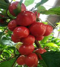 沙王樱桃树苗、两公分沙王樱桃树苗图片