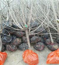 1年的兰丁1号砧木苗价格信息_兰丁1号砧木苗越冬管理图片