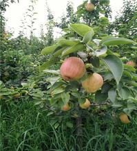 黃冠梨苗產地價格圖片