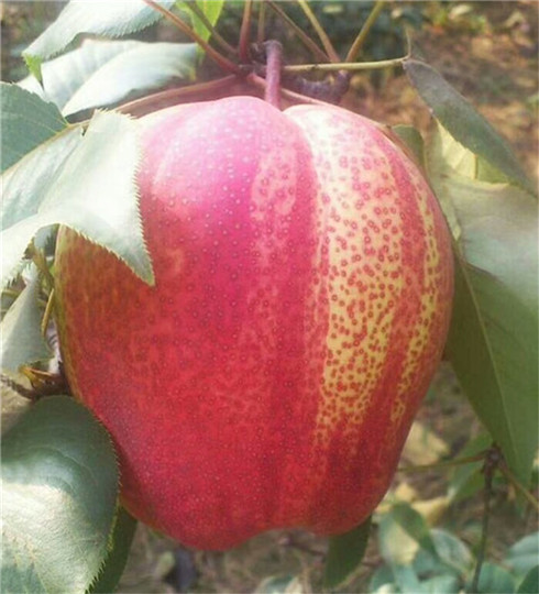 一年的新梨7號梨樹苗今年價格 新梨7號梨樹苗拉枝技術