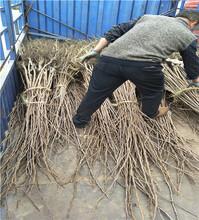 一年的早酥红梨苗购买早酥红梨苗拉枝技术图片