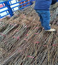 5公分粗红巴梨树苗基地及管理红巴梨树苗保护地栽培图片