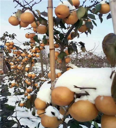 全红梨树苗价格及报价