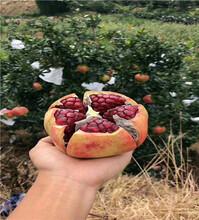 软籽石榴苗今年价格图片