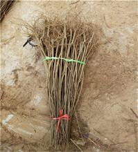 1公分粗月季石榴树苗价格及技术_月季石榴树苗种植基地图片
