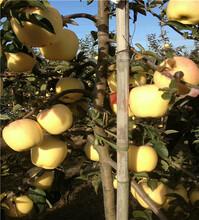 黄金维纳斯苹果苗基地及种植图片