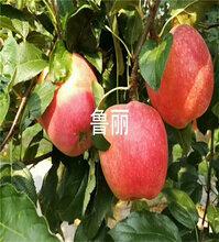 晚熟苹果苗价格及介绍、1公分粗晚熟苹果苗图片