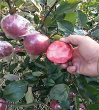 红肉苹果树苗单价及价格、一年的红肉苹果树苗图片