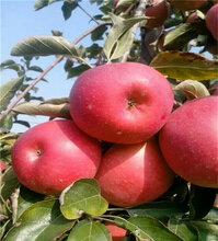 矮化花牛蘋果苗單價及價格,花牛蘋果苗初果期管理圖片