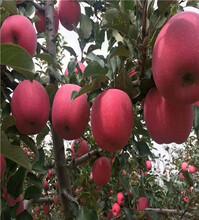 黑钻苹果树苗详细介绍图片