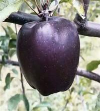 众成三号苹果树苗报价一览表、五年的众成三号苹果树苗图片
