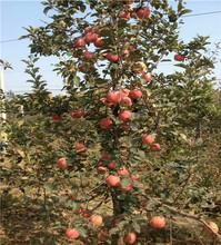 水蜜桃苹果树苗基地及管理图片