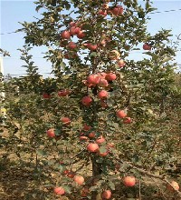 矮化烟富0号苹果树苗价格介绍,烟富0号苹果树苗在线报价图片