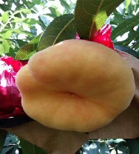 金秋紅蜜桃樹苗價格及技術圖片
