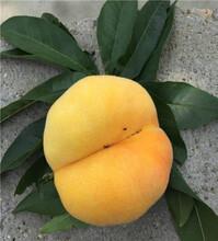 油蟠7號桃樹苗價格及種植圖片