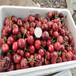 塔玛拉樱桃树苗秋栽时间
