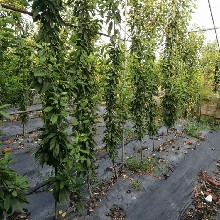 吉塞拉砧木苗农业果树供应图片