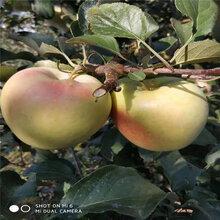 晚熟蘋果苗品種齊全千萬別錯過圖片