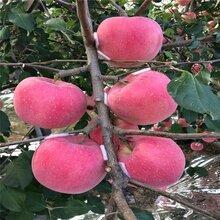 柱狀蘋果苗定植距離圖片