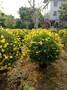 海南双荚槐球供应,海南双荚槐球常年批发,海南双荚槐球高1.5米图片