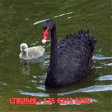 黑天鹅养殖场在哪里哪里有卖黑天鹅的图片