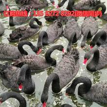 活体黑天鹅多少钱一只大量出售优质黑天鹅图片
