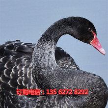 出售景区观赏黑天鹅价格哪里有卖黑天鹅的图片