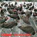 厂家直销白孔雀花孔雀蓝孔雀孔雀苗孔雀标本价格