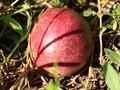 广西百香果紫香台农黄金百香果5斤装酸甜开胃图片