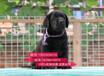 南京哪里賣純種拉布拉多幼犬南京拉布拉多多少錢一只南京哪里有寵物店