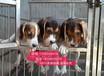 南京哪里賣純種比格犬幼犬南京比格犬多少錢一只南京哪里有寵物店