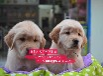 杭州什么地方出售金毛犬杭州寵物店金毛犬怎么賣