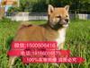福州买日本柴犬哪里好,在福州一般哪有宠物市场