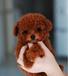 纯种韩系泰迪熊茶杯玩具健康质保购买可签订协议