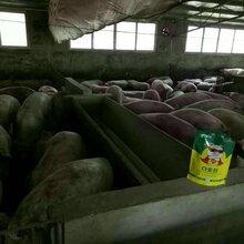猪吃什么长得快养猪日涨四斤添加剂育肥猪催肥剂图片