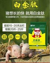 猪吃什么长的快?怎么给猪催肥,猪催肥最简单的方法,养猪喂什么长的快?图片