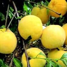 哪里的黃桃量大,哪里的黃桃產量最大圖片