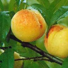 哪里有大型的油桃基地,安徽砀山哪里的油桃价格便宜图片