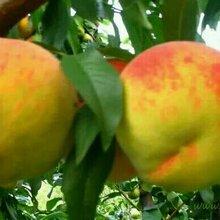 哪里有锦绣黄桃,哪里的锦绣黄桃价格便宜图片