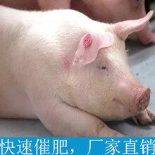 养殖户要想多赚钱要怎么养,猪才能长得快一点呢?