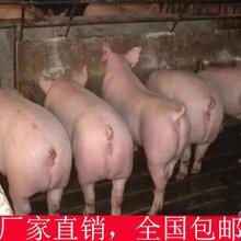 你养猪多年,但你知道如何喂猪才长的快吗?