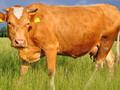 牛吃什么10天催肥_牛催肥饲料添加剂_大牛催肥专用料图片