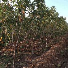 安徽德丰生态农业出售一年至八年樱桃嫁接苗