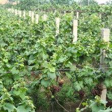 安徽德丰生态农业供应2至5年葡萄苗