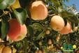 哪里的梨树苗最好安徽德丰生态农业提供2年10年梨树苗