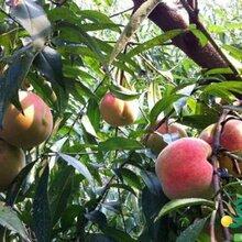 哪里的桃树苗最好安徽德丰生态农业提供2年10年桃树苗