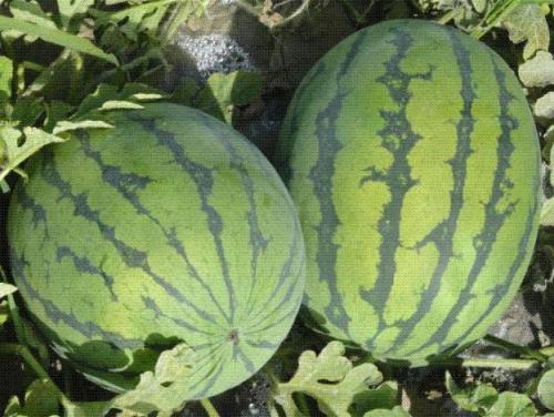 供應奧欣六號西瓜種子果實高圓至短橢圓