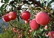 安塞山地苹果侯沟门特供苹果皮薄肉厚85#精品苹果